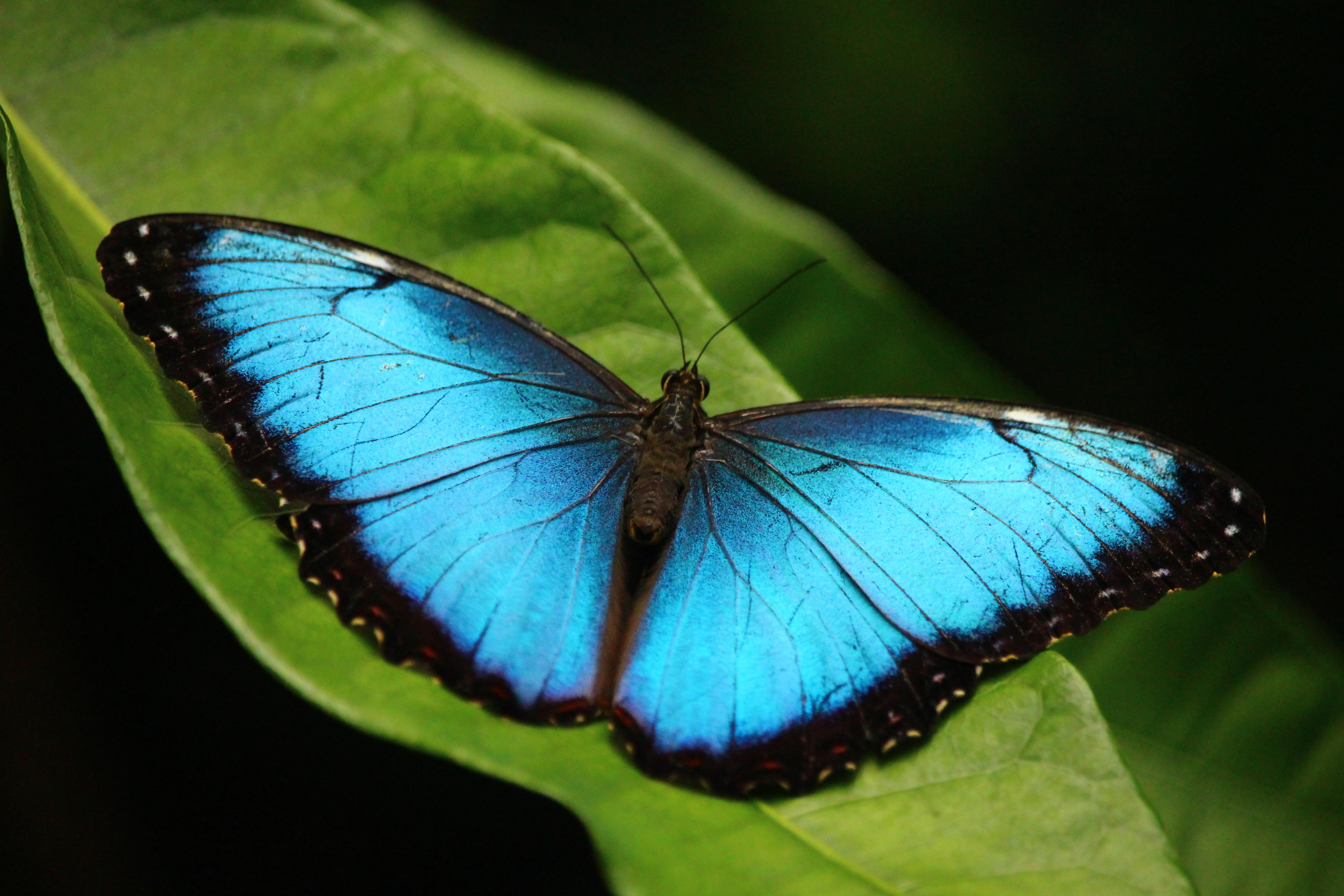 High Angle View Of Blue Morpho Butterfly On Plant