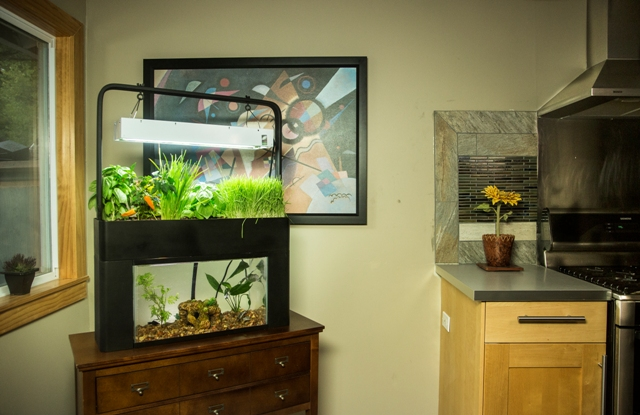 Feed with the fishes with the AquaSprouts Aquarium Aquaponic Garden.