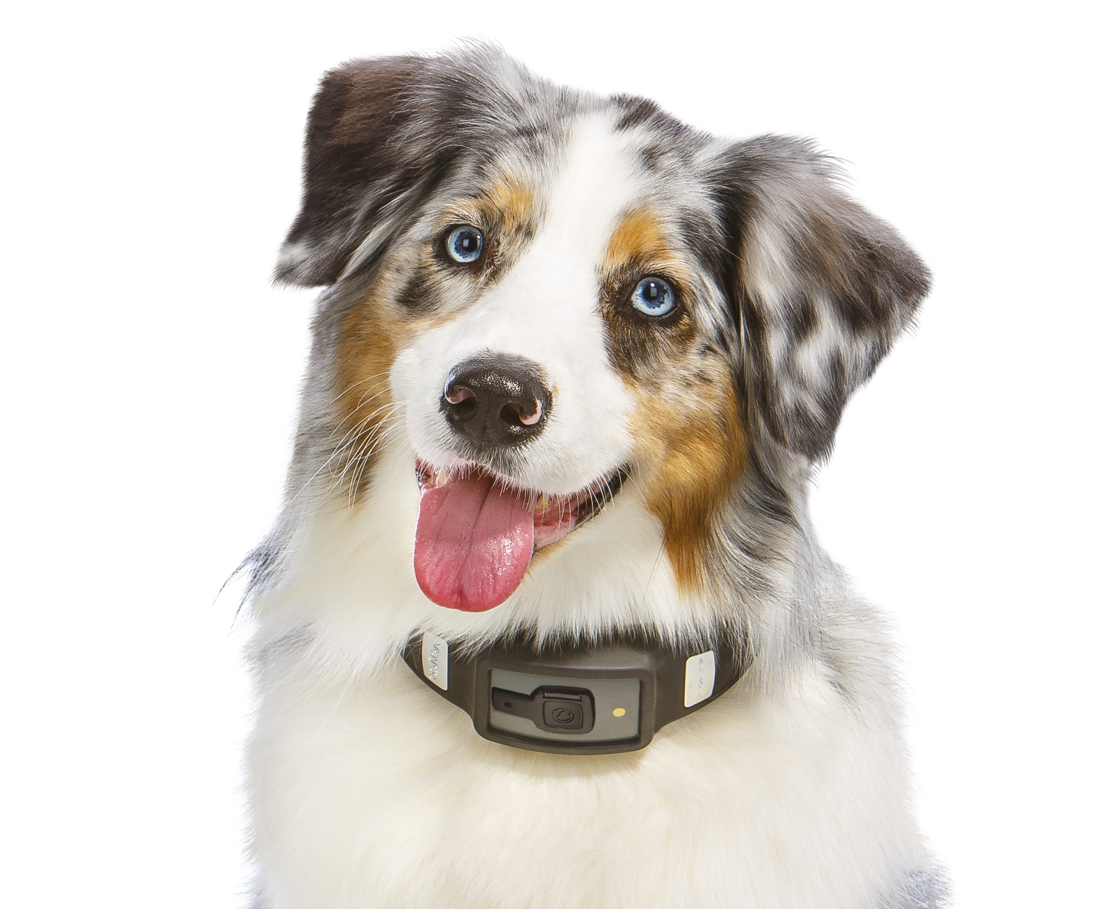 Voyce collar on dog