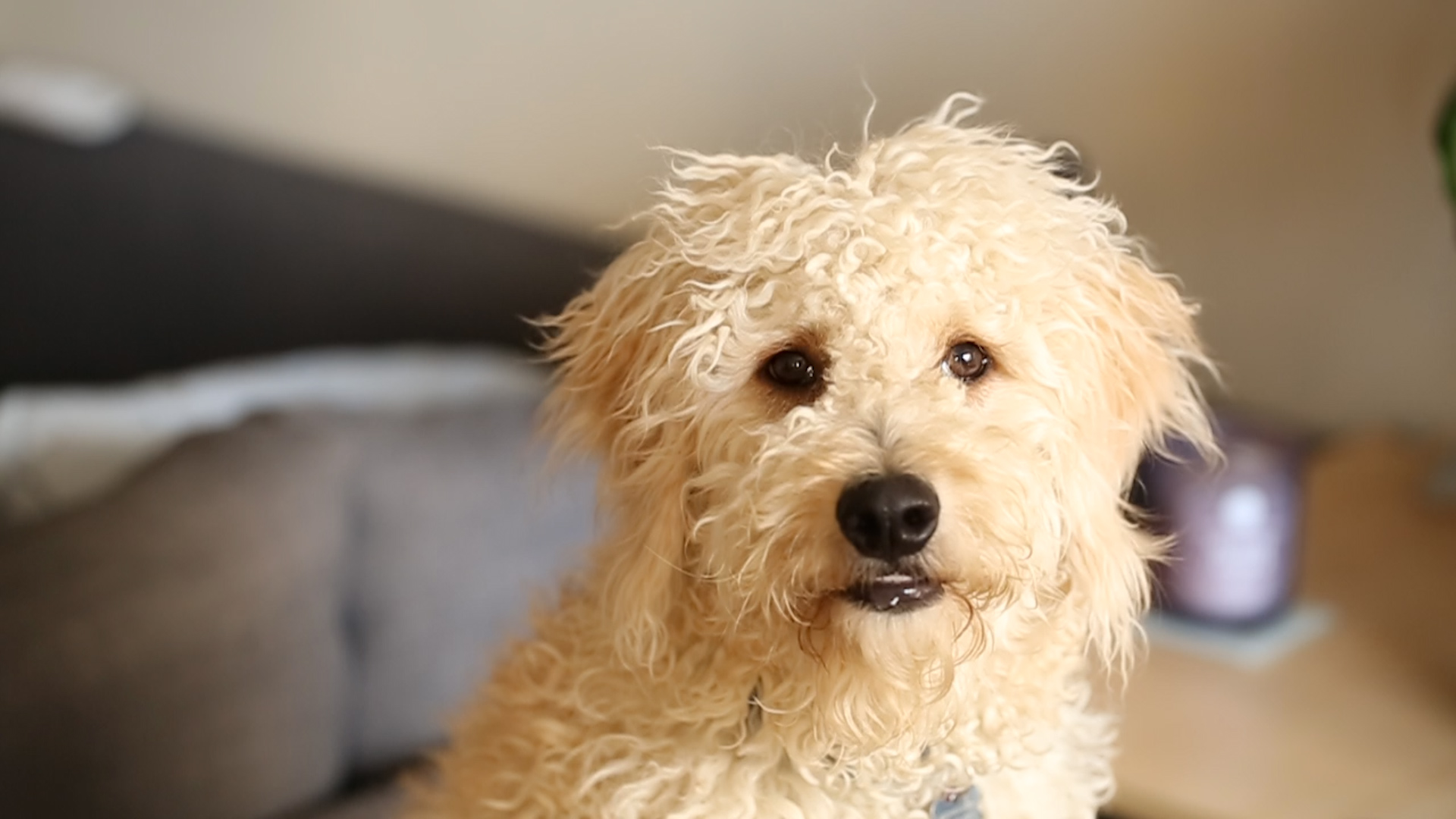 Video: Watch as this puppy tests the new Furbo dog camera