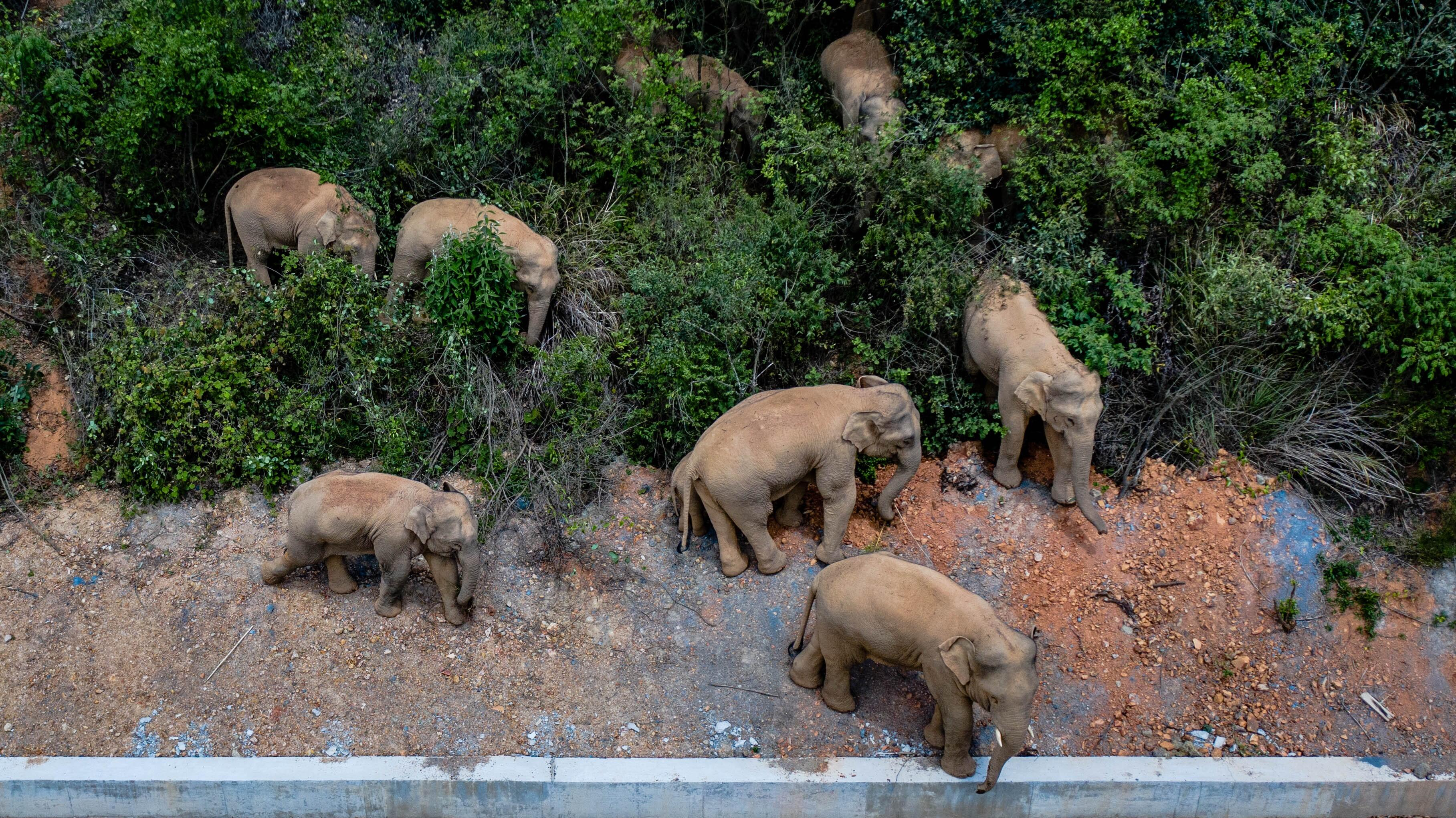 Wild elephant stove in China makes a mysterious cross-country march