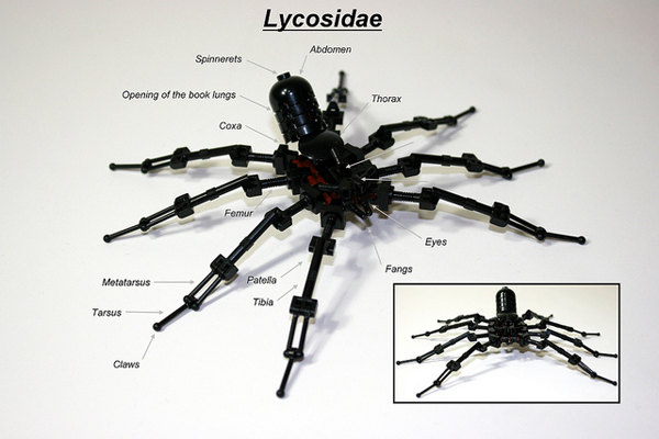 Lycosidae: the black wolf spider