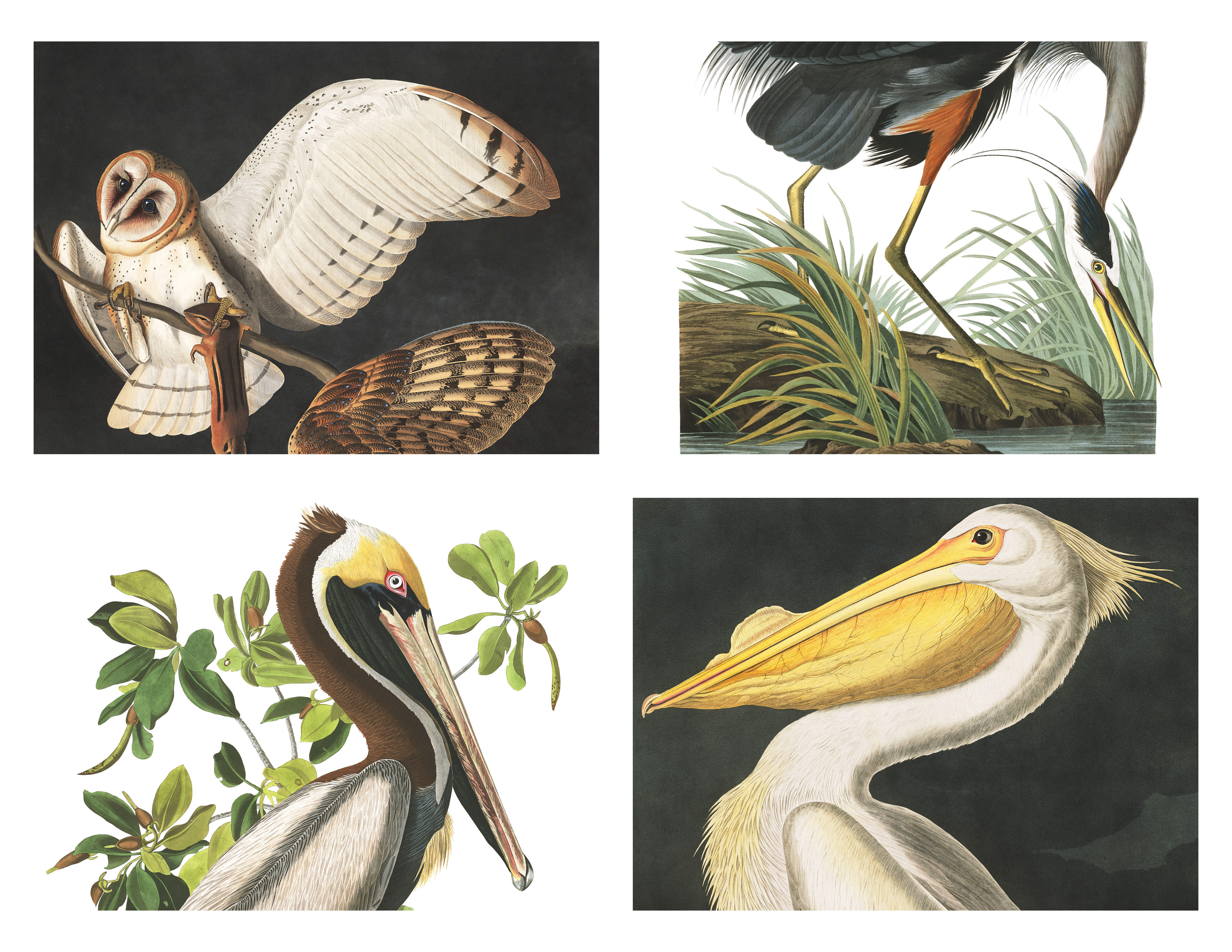 In the 1820s and 1830s, James Audubon traveled a young United States to paint hundreds of species of birds. Clockwise from upper left: Barn owl, great blue heron, brown pelican, American white pelican.