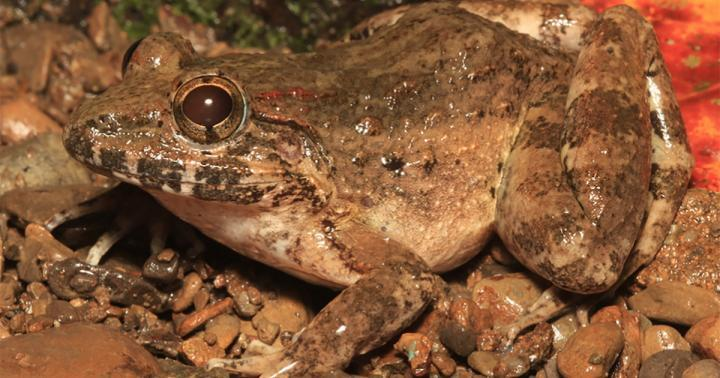 'Freaky fanged frog' hiding in plain sight is a new species, scientists say - CNET
