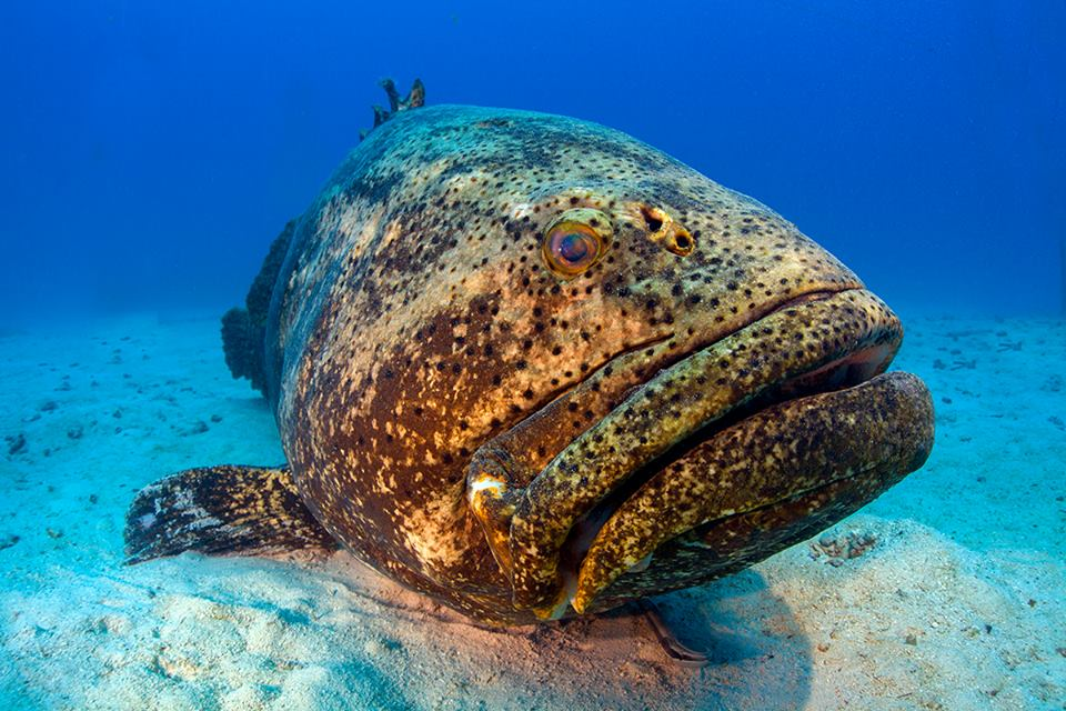 A grouper named JYC