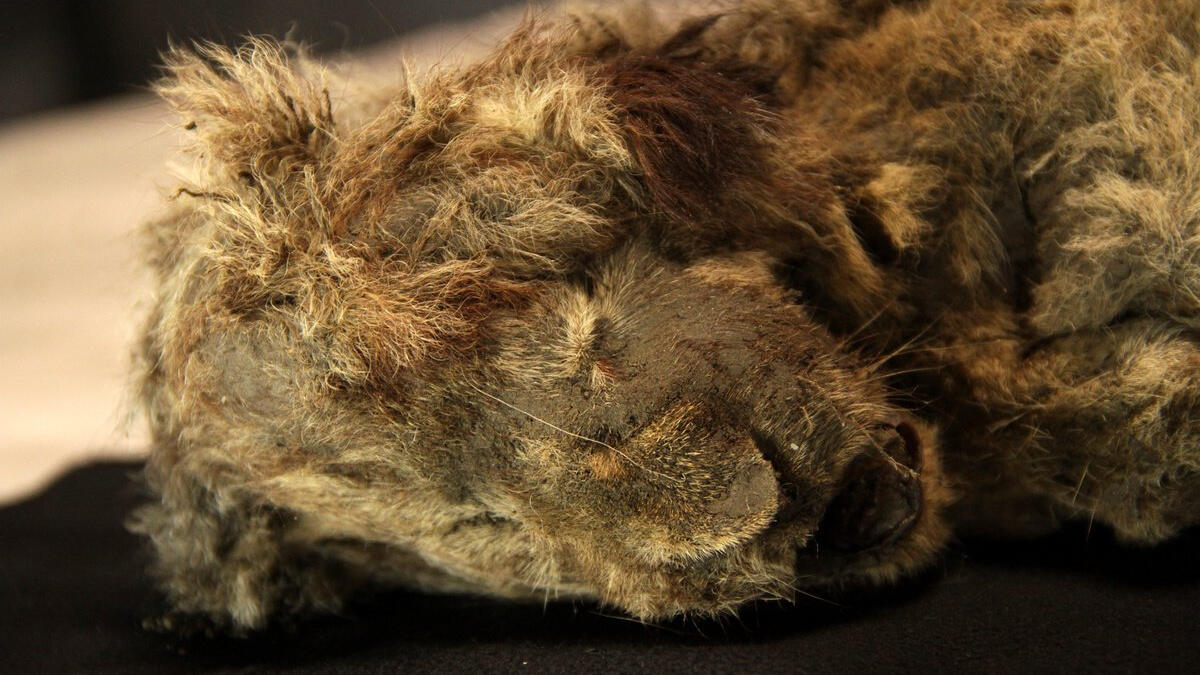The frozen cave lion still has whiskers and hair despite being 28,000 years old