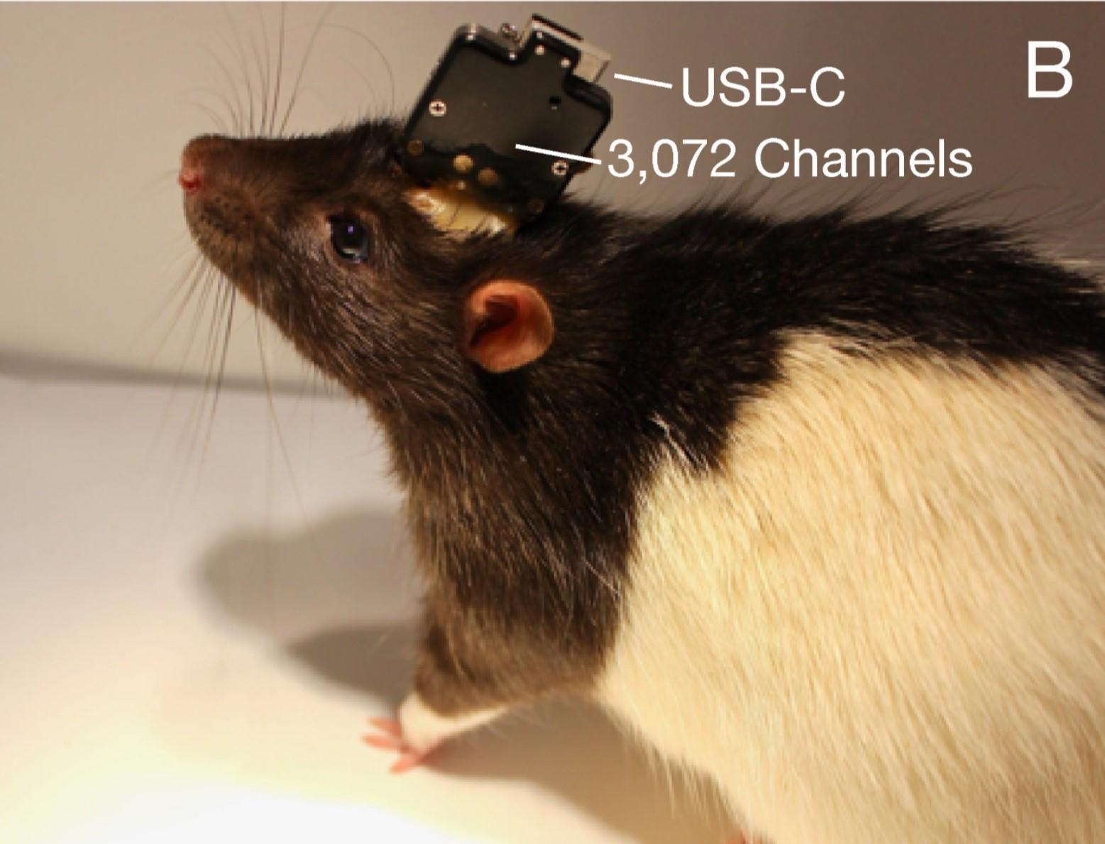 On this rat, Neuralink's sensor chip connects to the outside world with a USB-C port. On humans, the plan is to communicate wirelessly so there won't be a cable plugged into your skull.