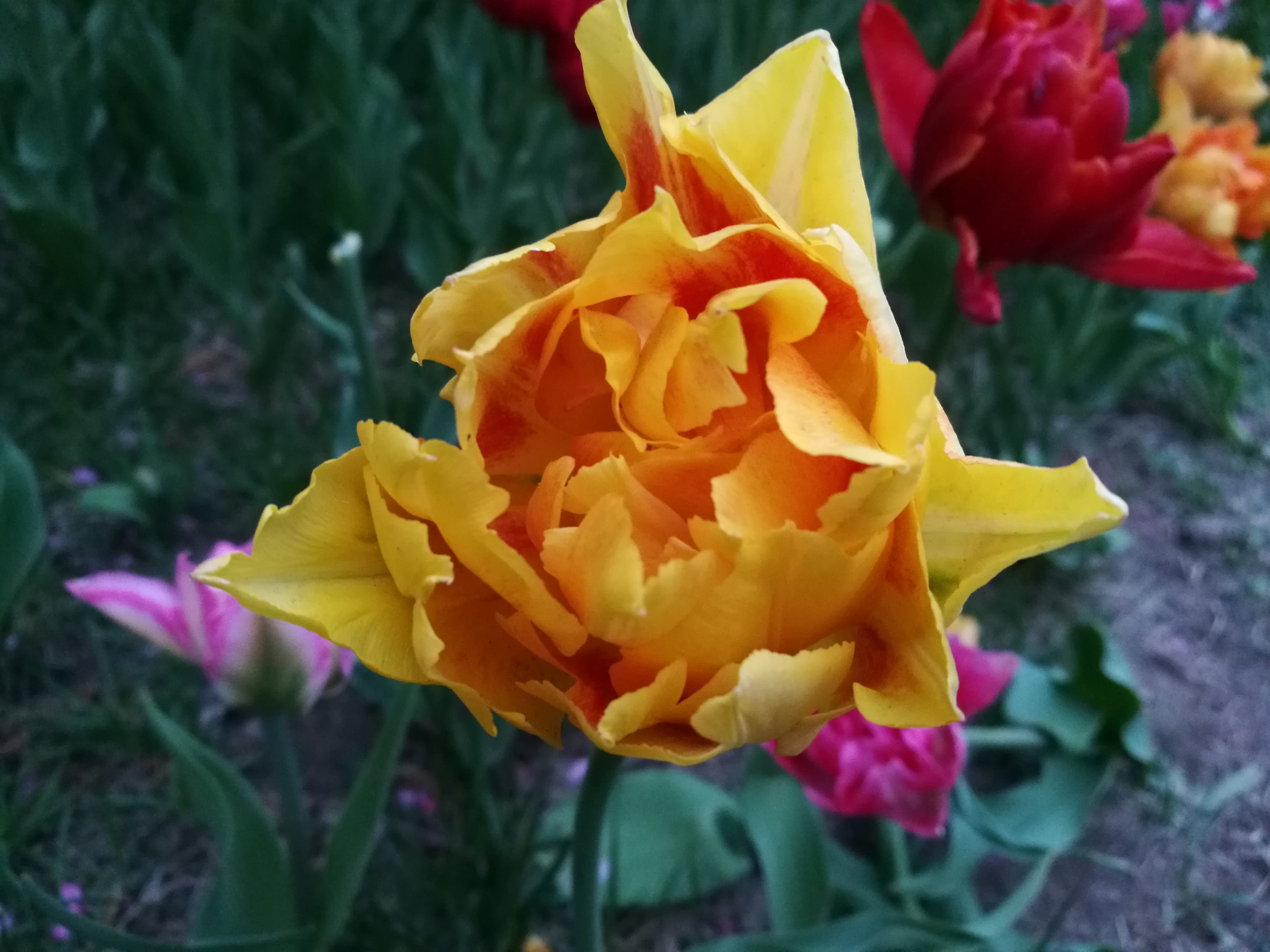 A tulip by any other name