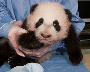 SAN DIEGO --For weeks, San Diego Zoo staffers knew that Bai Yun, a 20-year-old female panda, might be pregnant. But given that she had had an unsuccessful pregnancy in 2011 -- and because only one other known panda has ever given birth at such an age -- they kept their enthusiasm in check. </p><p> But last Friday, based on several factors, including indications from a pair of high-tech tools used to monitor Bai Yun, they issued a birth watch, and today, Bai Yun delivered. No one knows yet the sex of the newborn cub, nor will they for weeks. But who cares? It's a newborn panda. </p><p> This is a picture of a previous panda cub at the zoo.