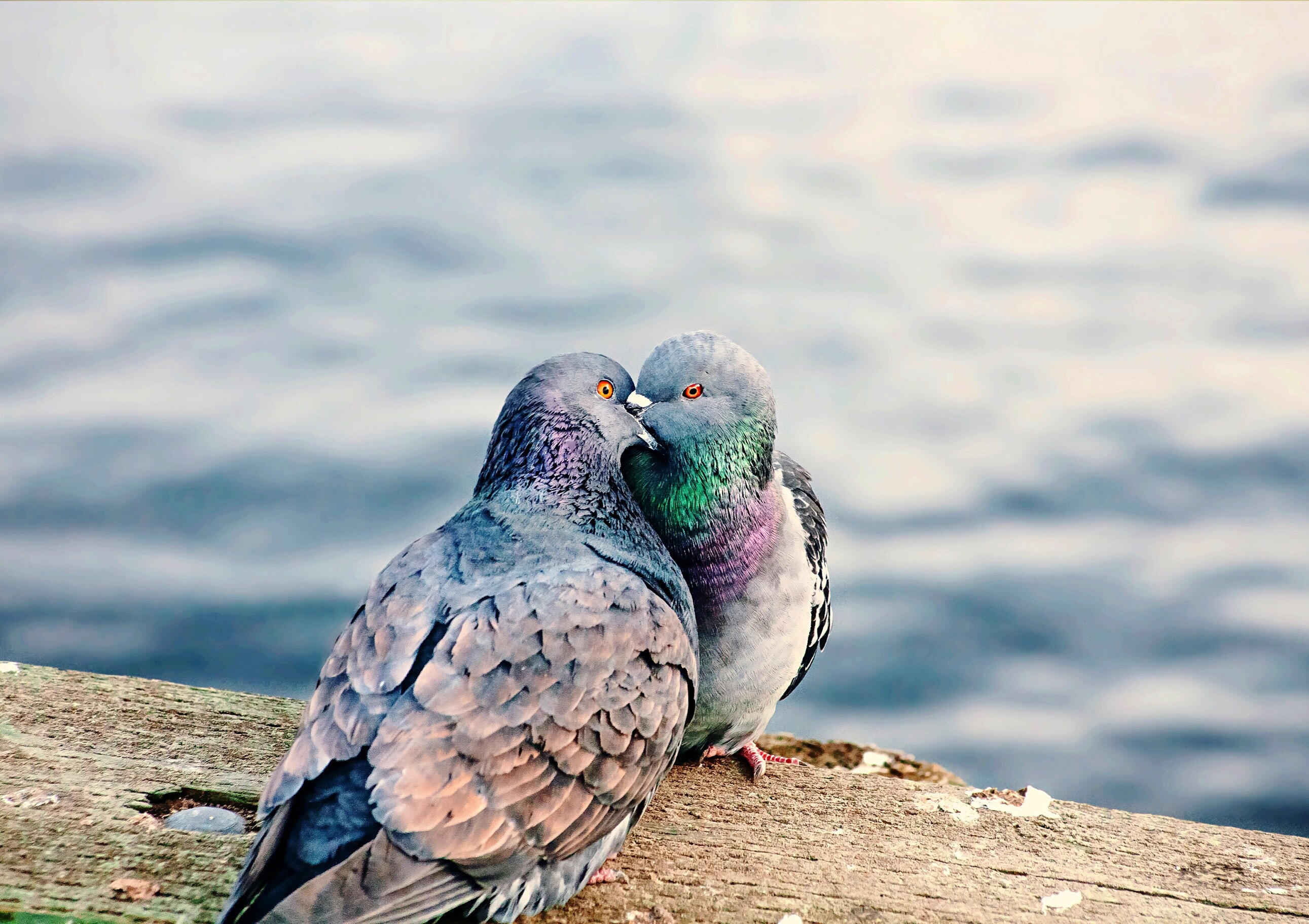 Pigeons Kissing On Waterfront