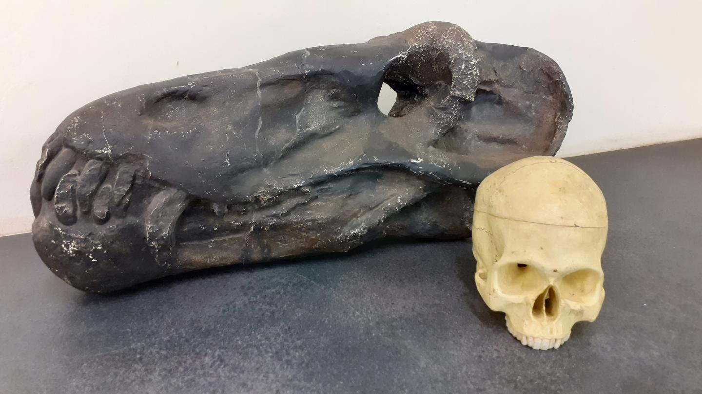 Anteosaurus skull in comparison with a human skull