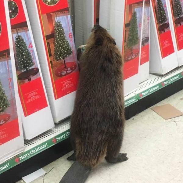 Beaver shops for fake trees