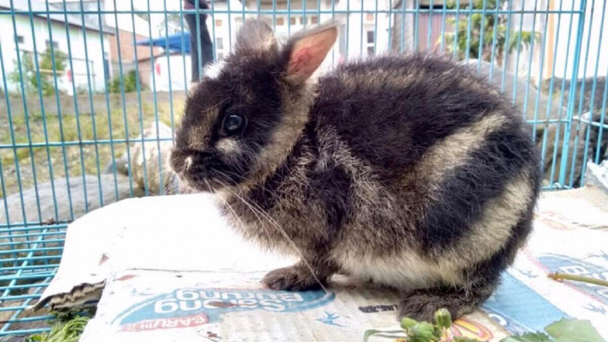 World's Rarest Rabbit Rescued After Being Seen On Facebook