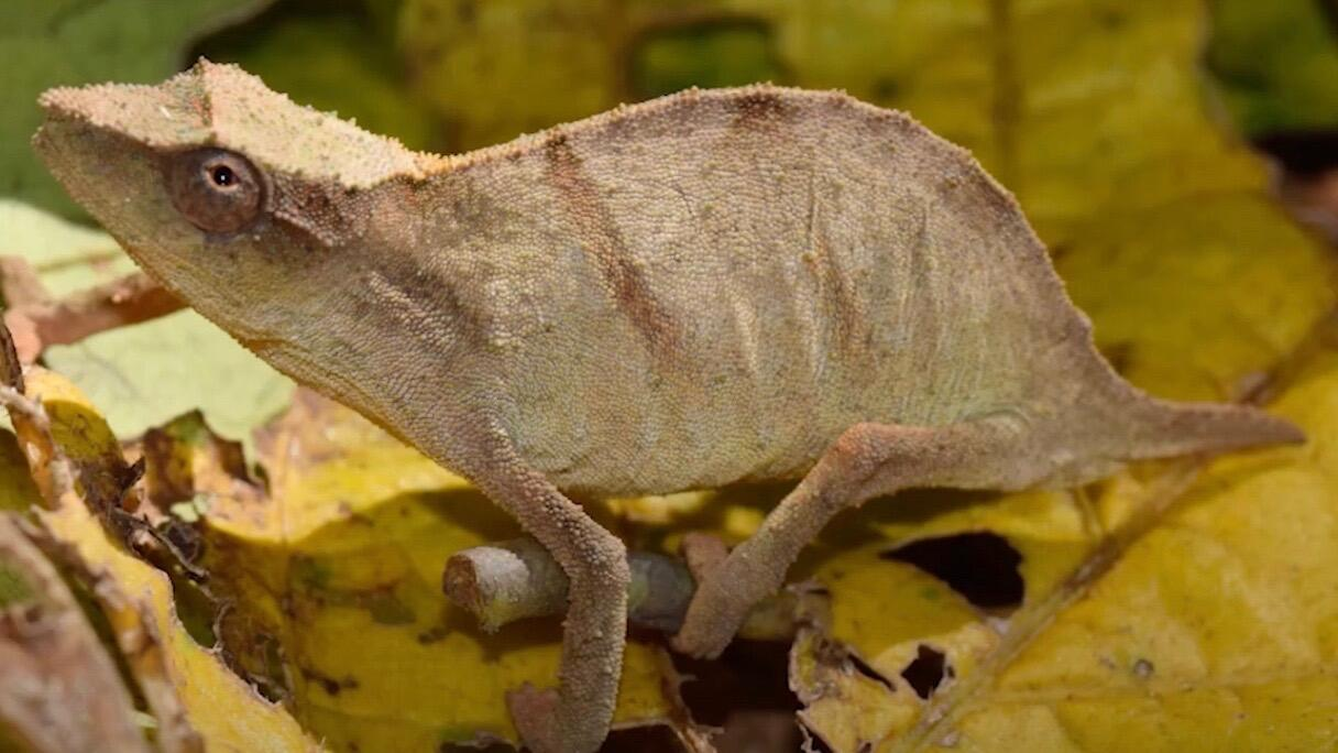 Scientists discover a tiny chameleon that was once feared extinct, but its future is uncertain