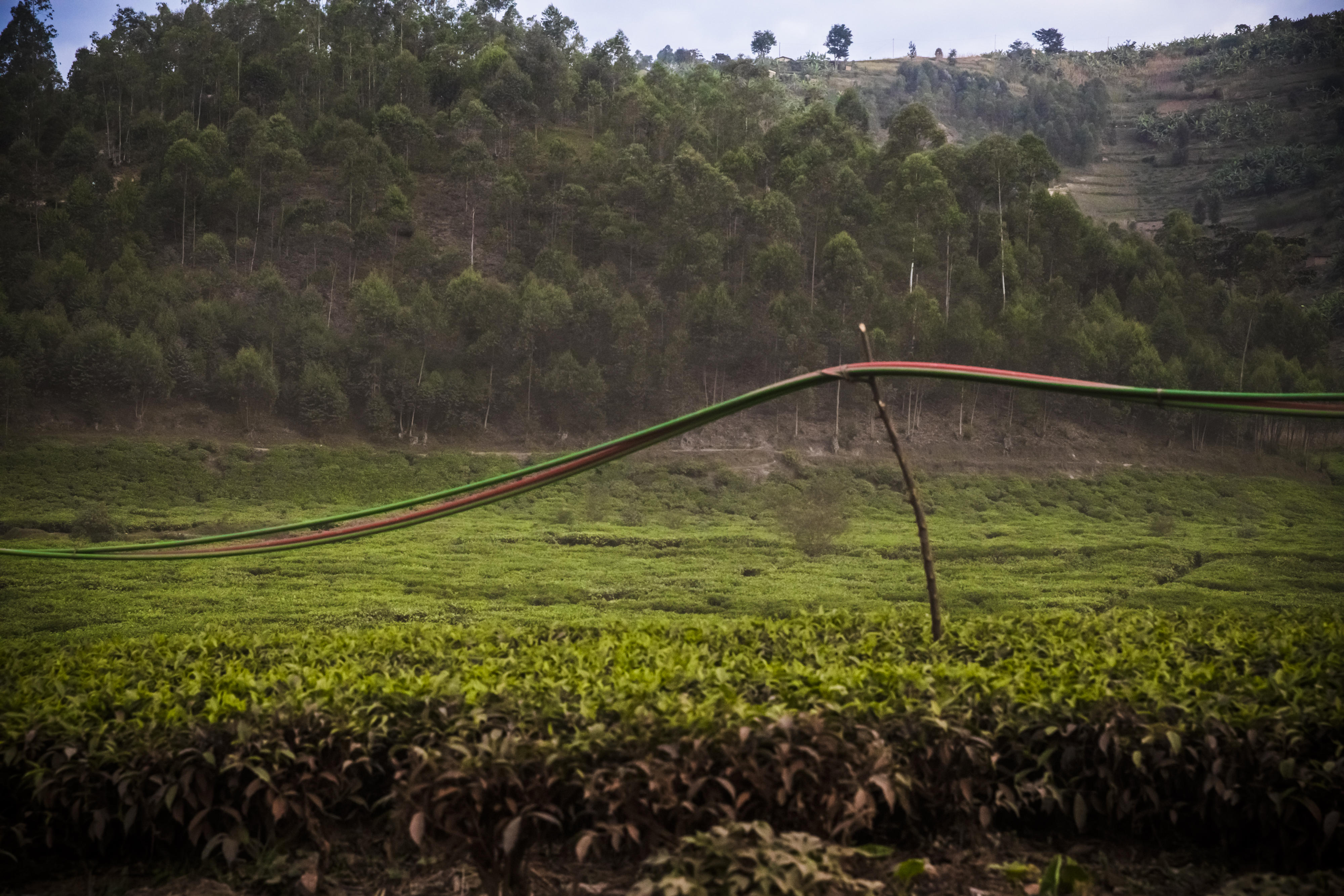 Fiber optic cables are strung for miles through fields of tea leaves, along a dirt road. The cables will be buried as the road is paved.
