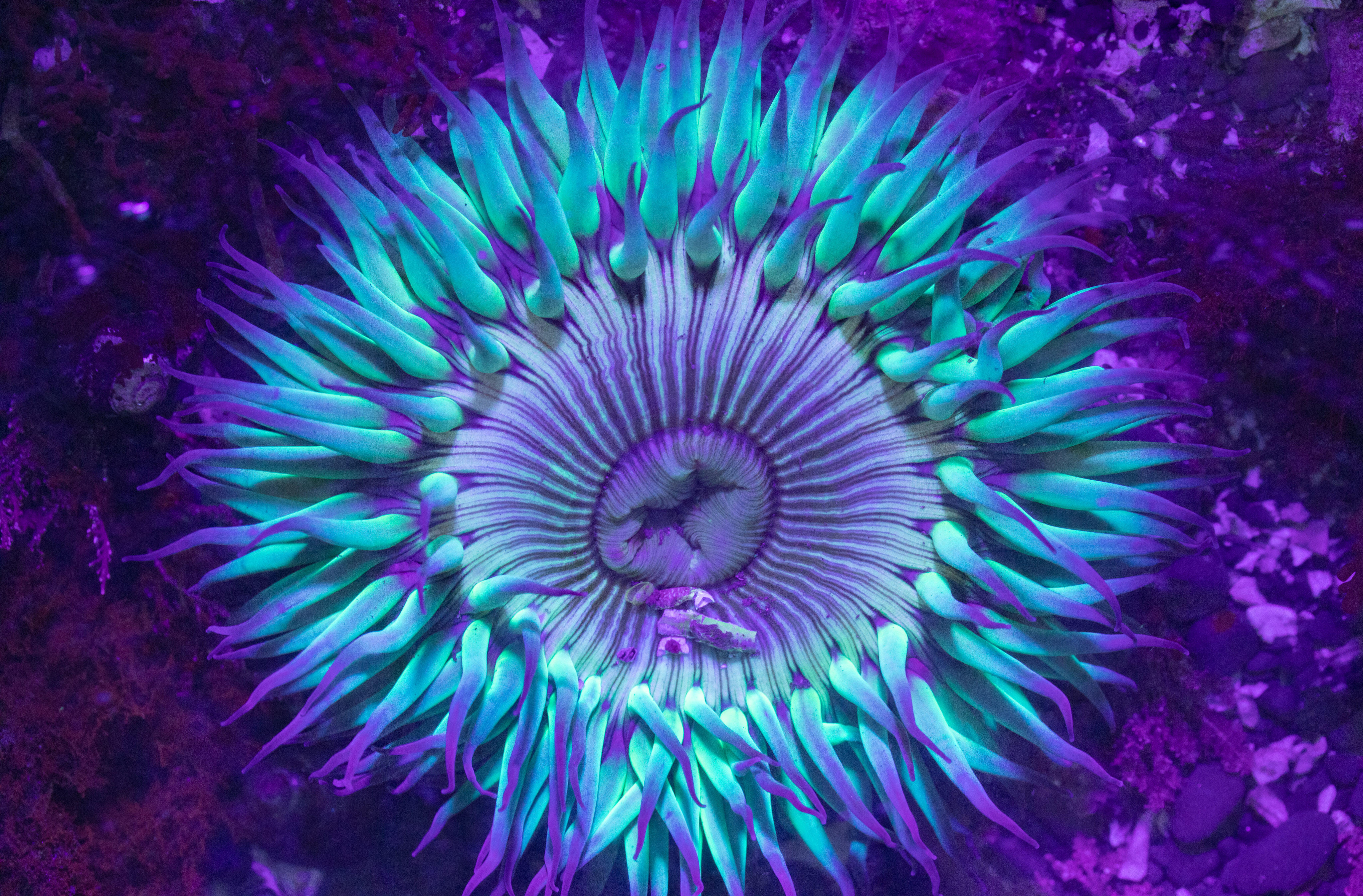 A sunburst sea anemone illuminated by ultaviolet fluoresces with bright colors in a tide pool at Pillar Point near Half Moon Bay, California.
