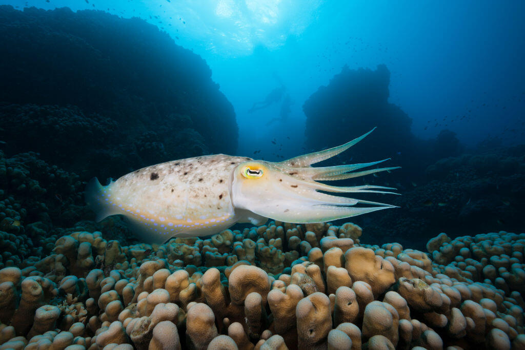 A broadclub cuttlefish swims at Australia's Great Barrier Reef in 2015.
