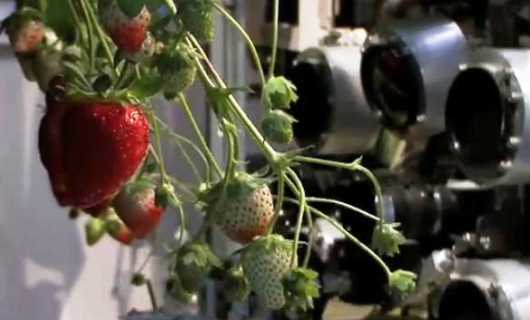 Japan's strawberry-harvesting robot images the berries before deciding if they're ripe.