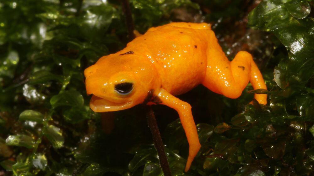 Meet the pumpkin  toadlet, a new species of poisonous frog
