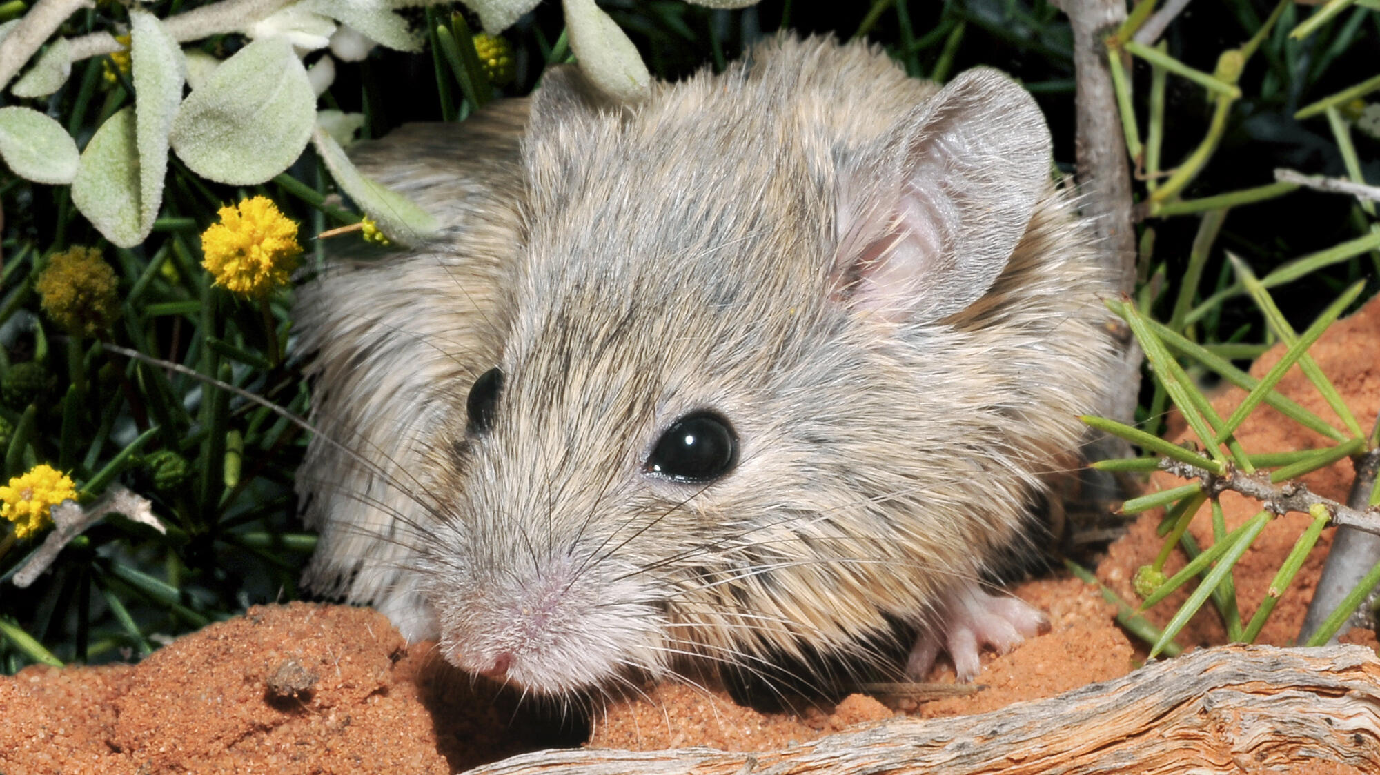 Back from the dead: Scientists discover mouse believed to be extinct for 150 years     – CNET