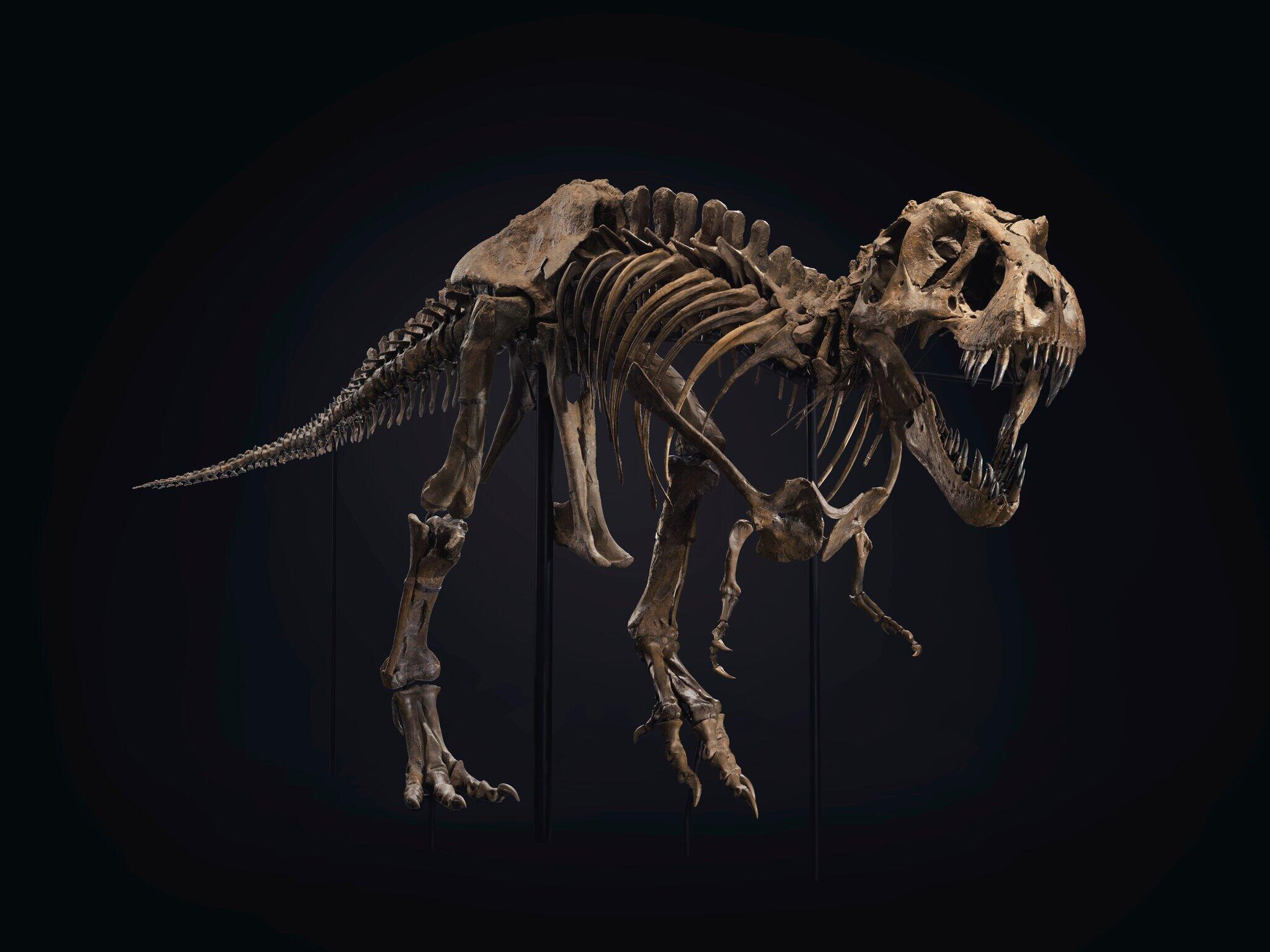 <p>Stan the T. rex is a rare fossil skeleton in private hands.&nbsp;</p>