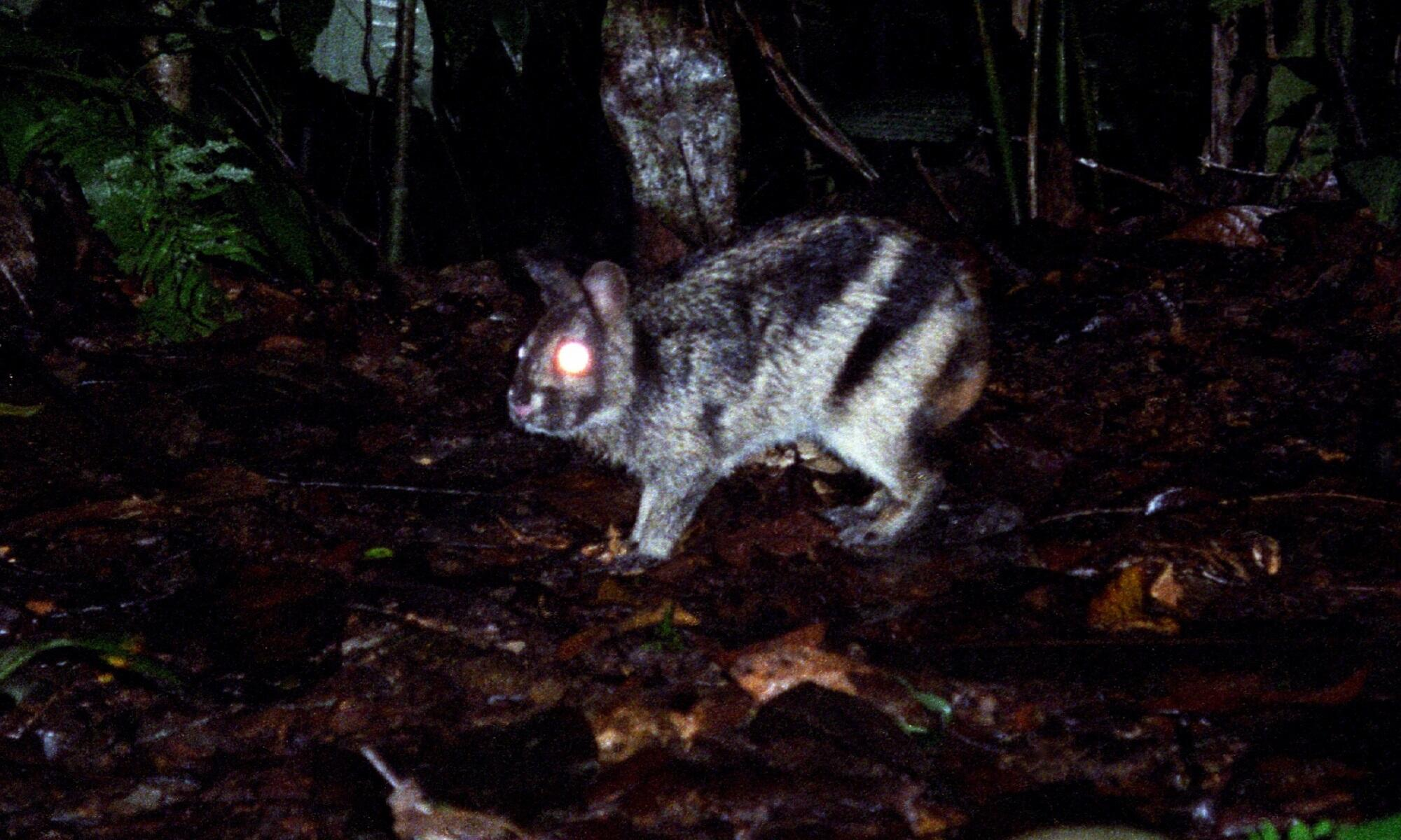 for-sale-in-sumatra-worlds-rarest-rabbit-spotted-on-facebook-2000x1200