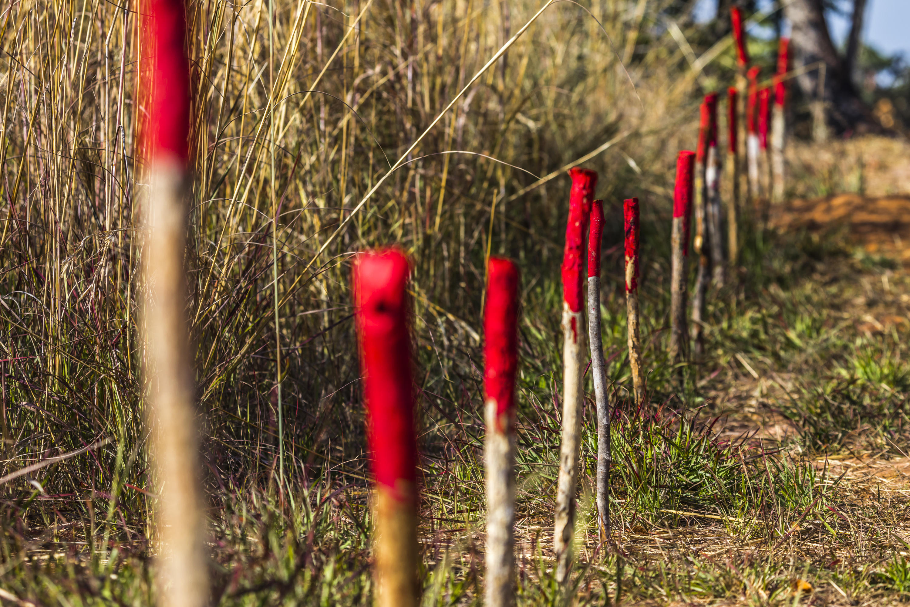 Red-tipped sticks stake out a boundary between safe ground and live land mines.