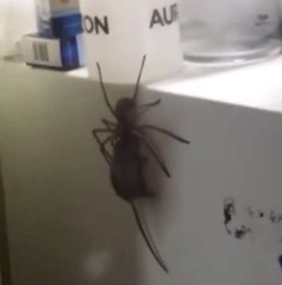 Giant spider eats a mouse