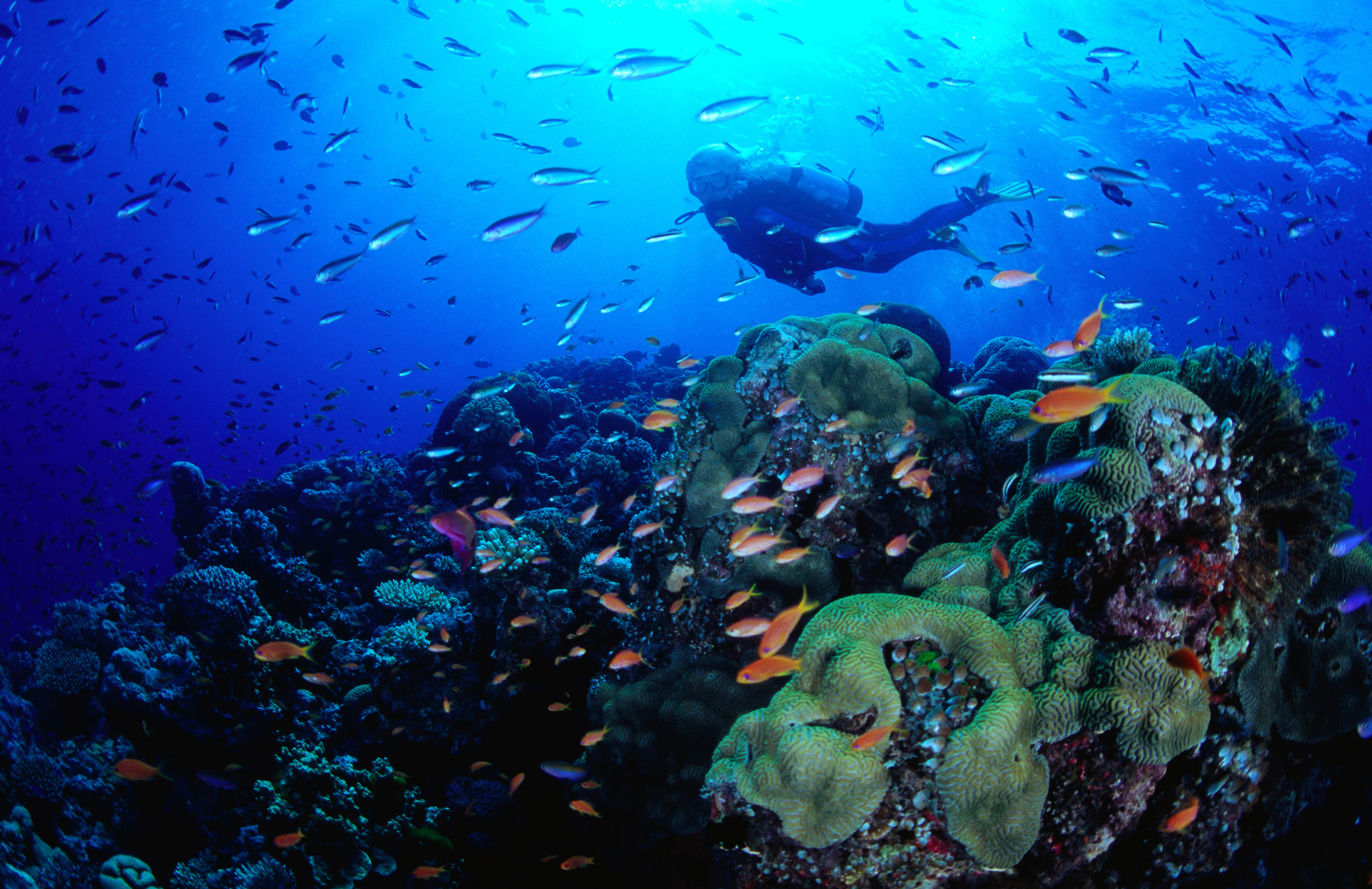 Diver swimming by coral and tropical fish.