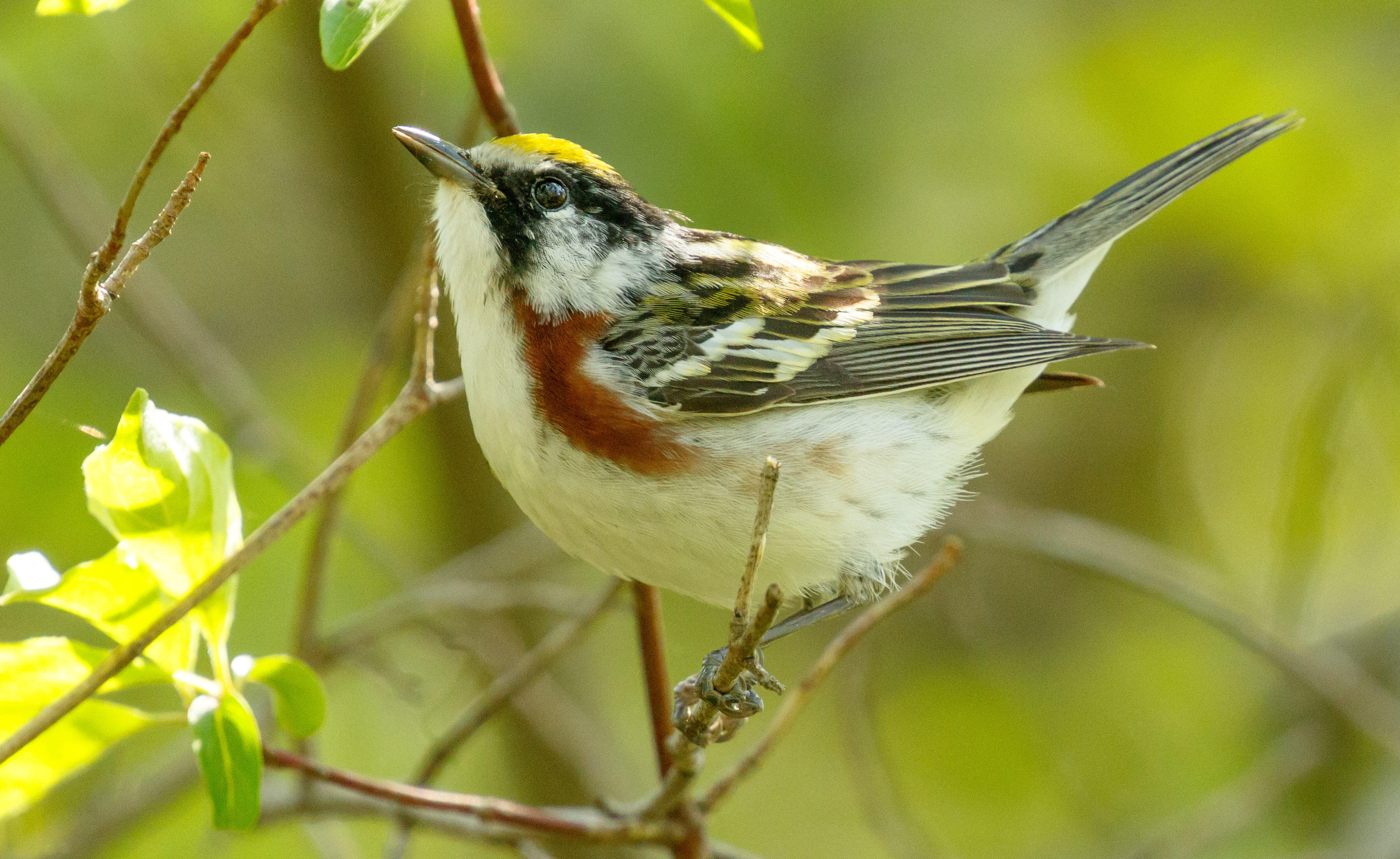 A chestnut-sided warbler looks upward at Magee Marsh in northern Ohio.