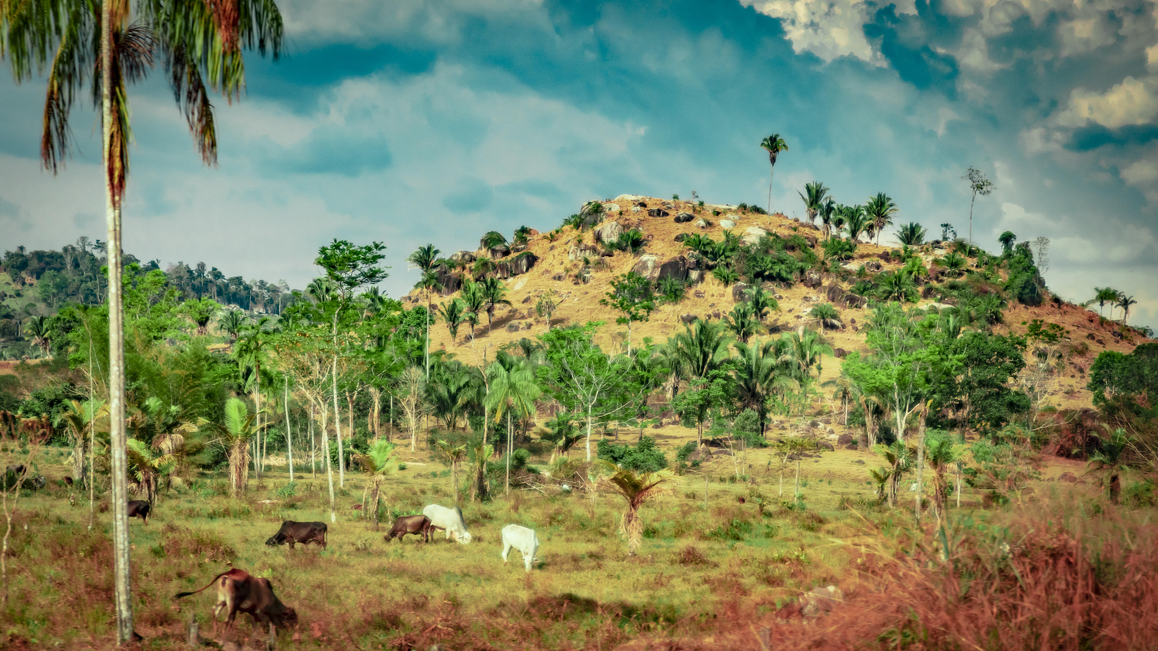 Cows graze in the razed lands of the State of Rondonia in Brazil