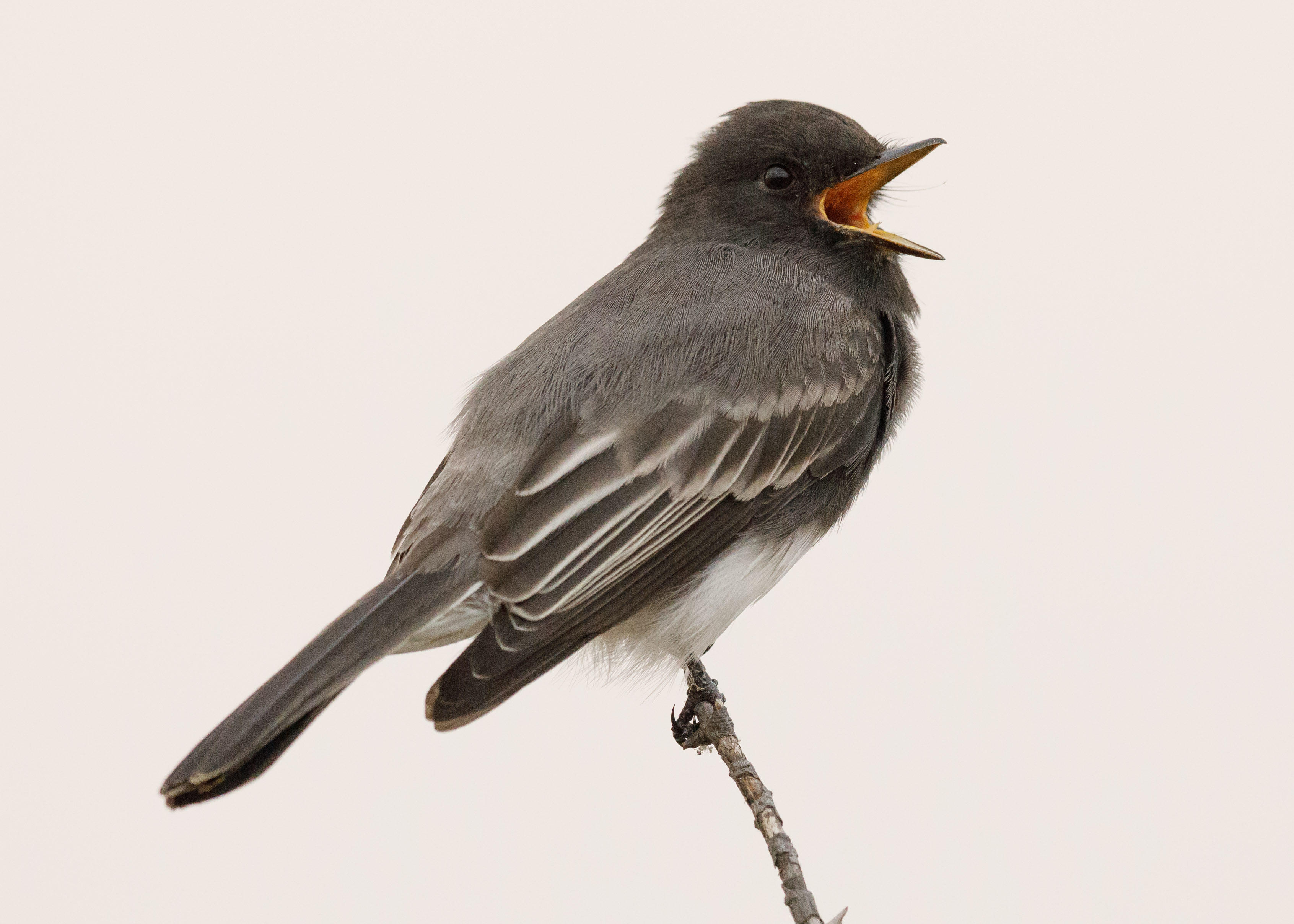 A black phoebe, a type of flycatcher, sings in the morning in Palo Alto, California.