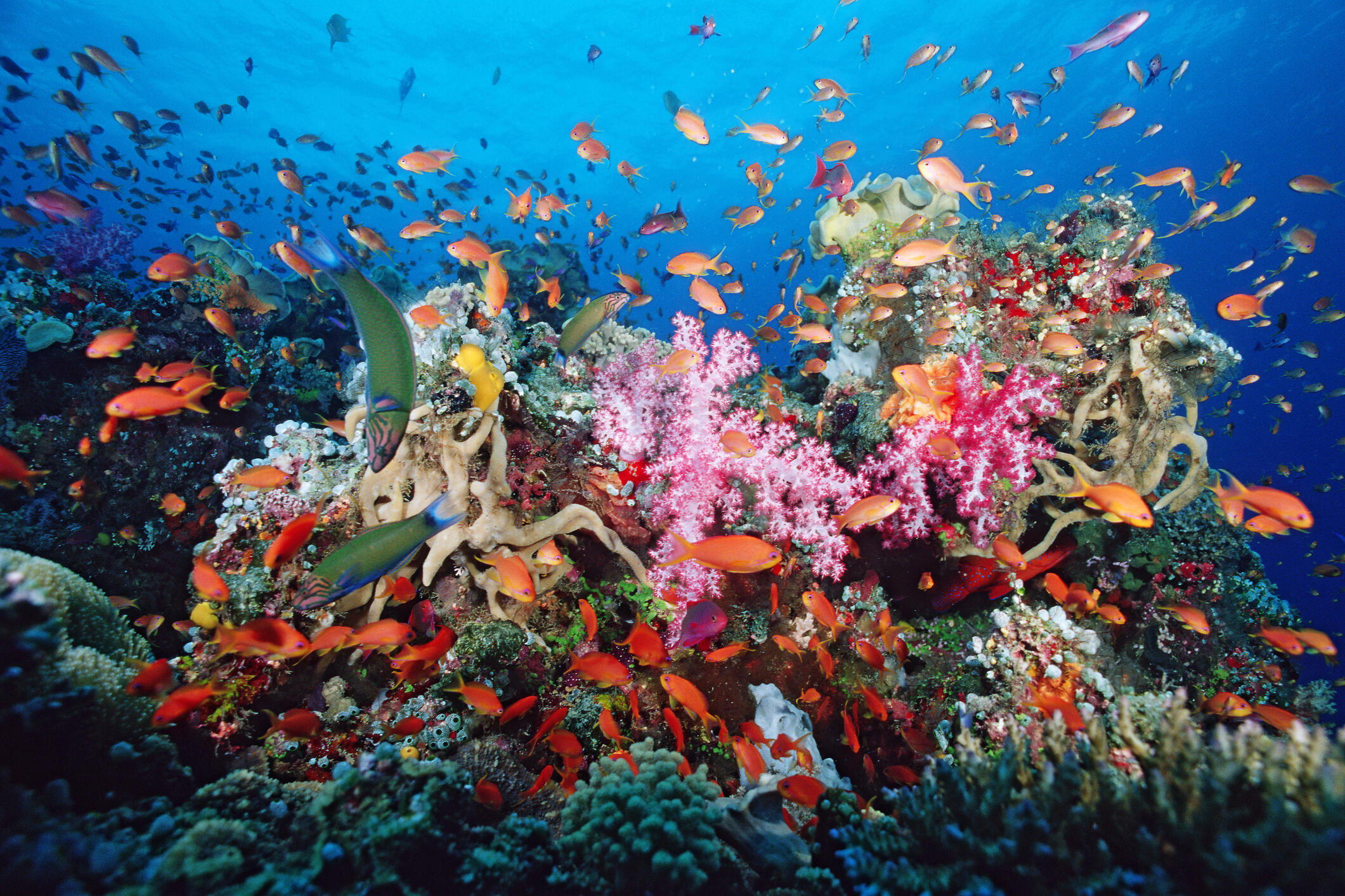 Tropical coral reef providing shelter for huge numbers of marine animals, Fiji, Indo-Pacific