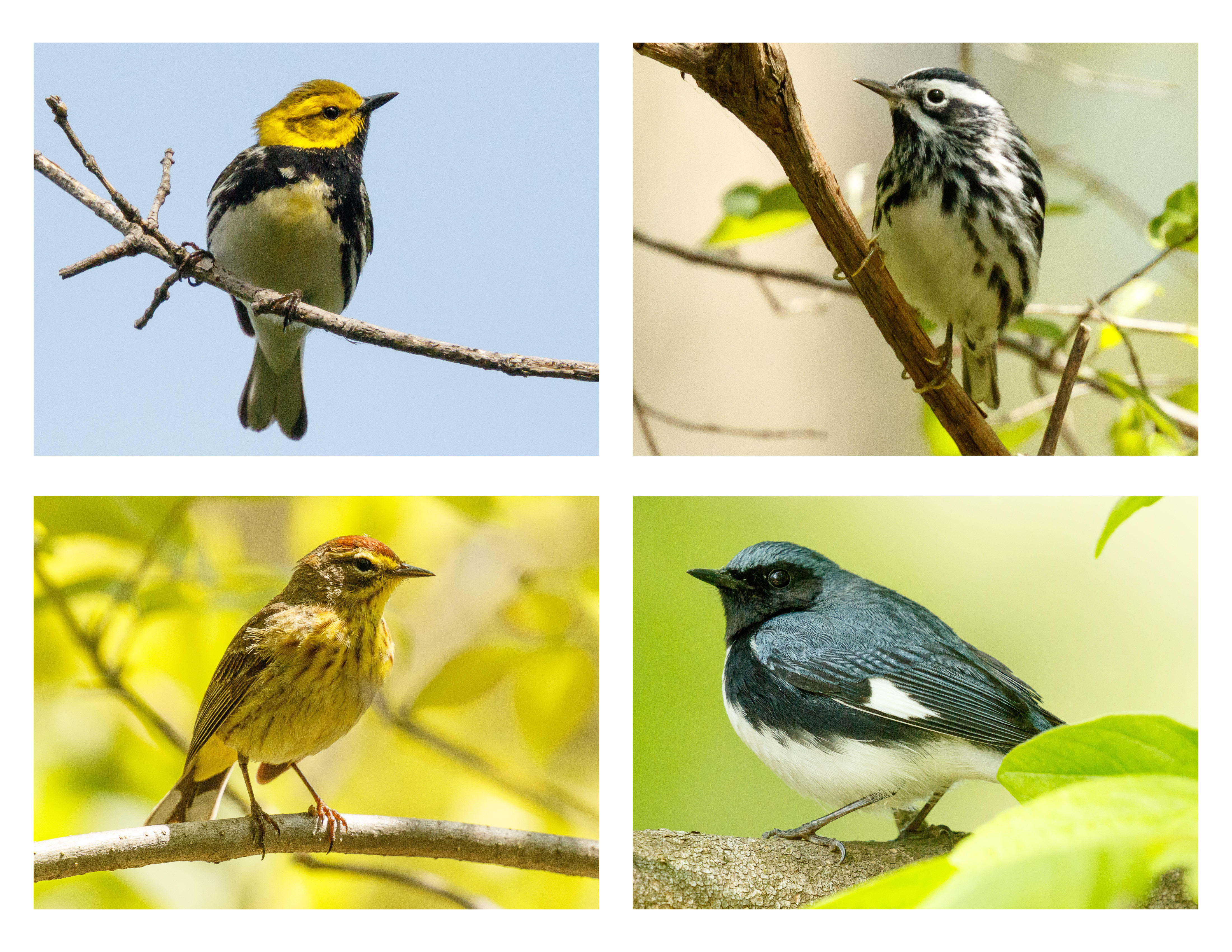 A quartet of Ohio warblers, clockwise from top left: black-throated green warbler, black and white warbler, palm warbler, and black-throated blue warbler.