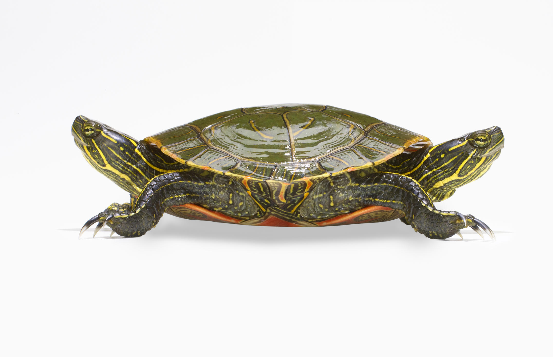 Two-headed turtle.