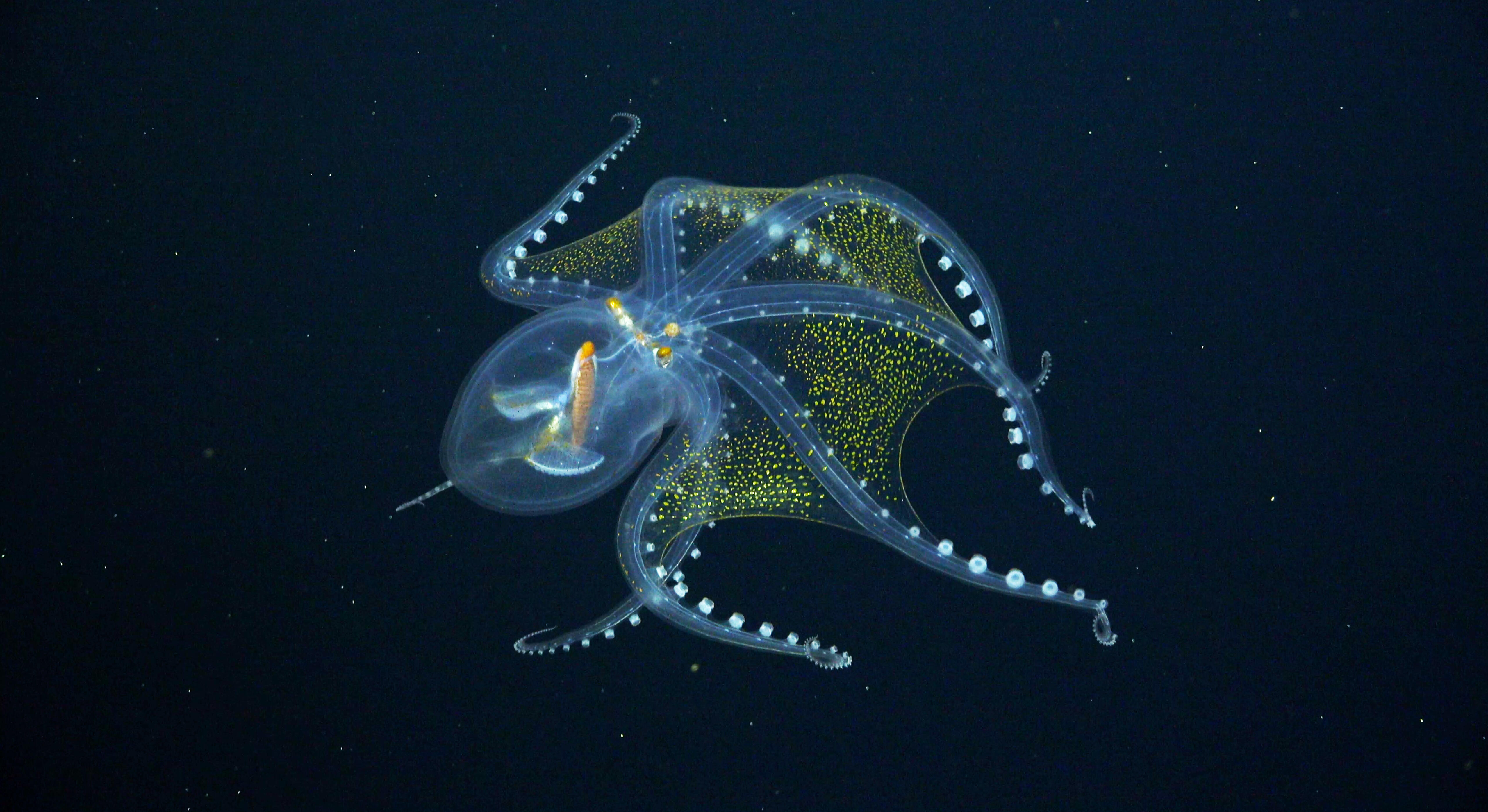 A rare and ghostly glass octopus photographed on a recent expedition to the Pacific Ocean
