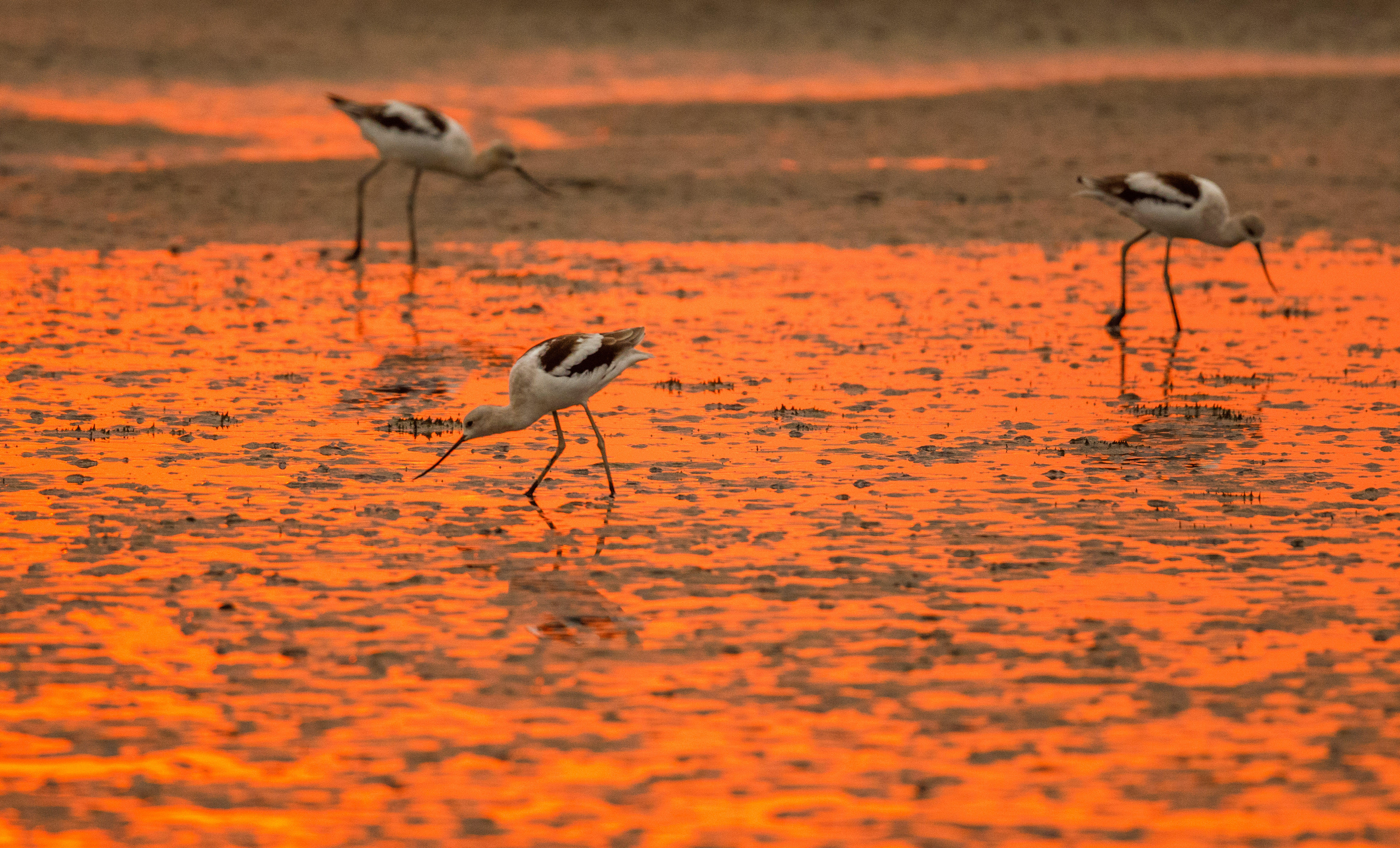 American avocets at sunrise in the low-tide mudflats in San Francisco Bay in Palo Alto.