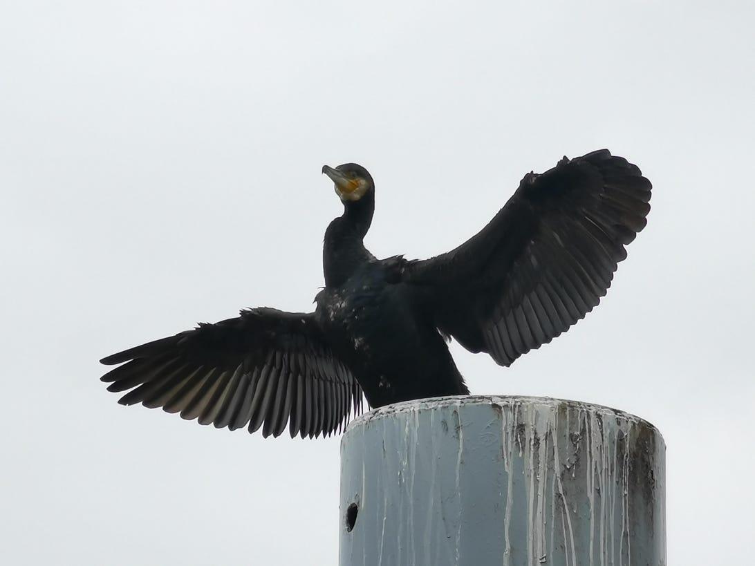 cormorant-zoom-10x-p30-pro