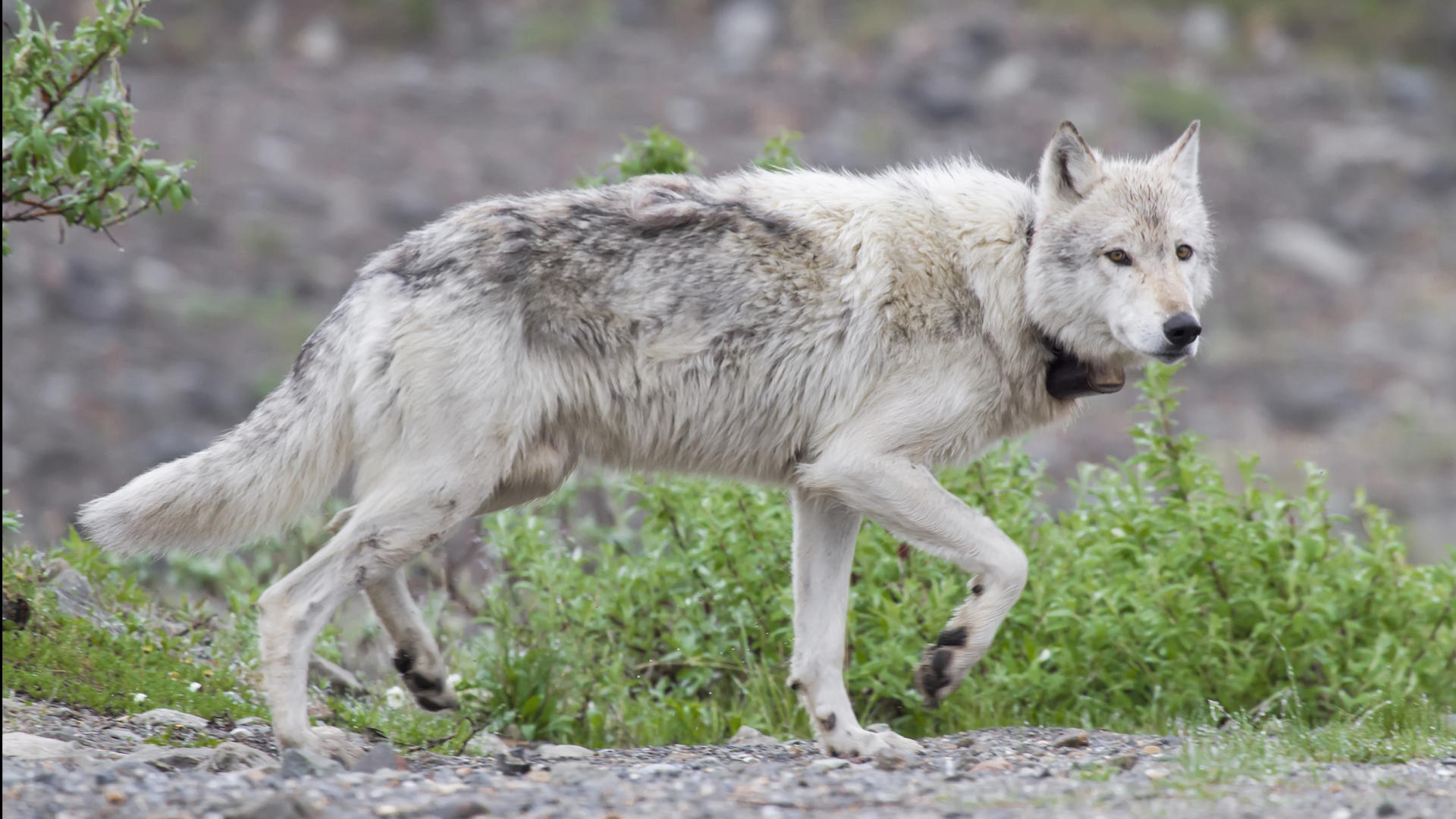 Video: Tracking the hidden lives of Denali's wolves