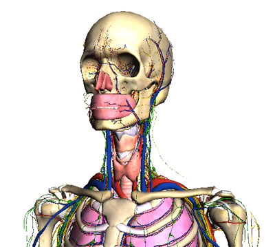 Google Body demonstrates WebGL features. The Google Labs site has a slider that lets you add or remove various systems of the human body.