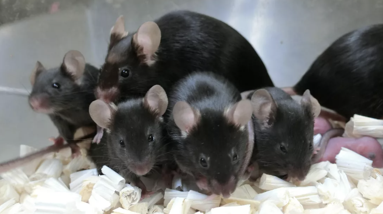 After almost six years on the space station, frozen mouse sperm produces healthy pups - CNET