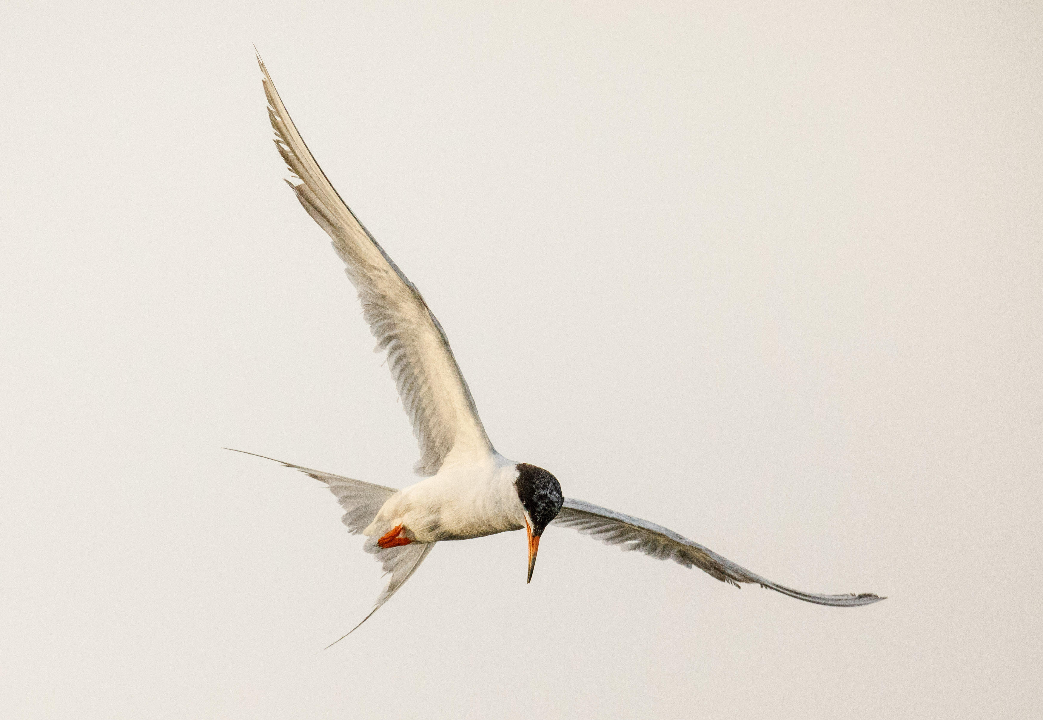 A Forster's tern looks for fish to snatch from the San Francisco Bay in Palo Alto, California.