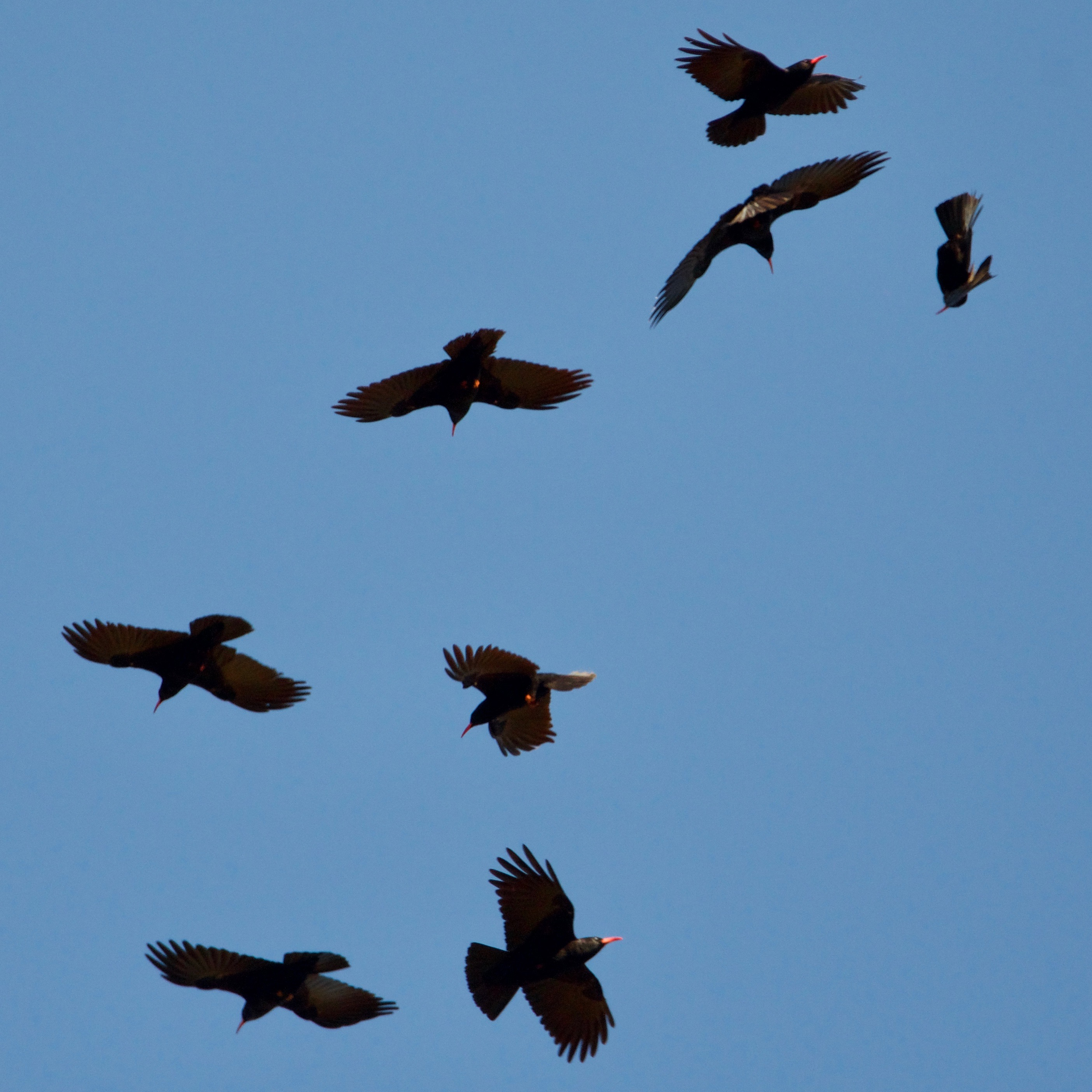 flying choughs
